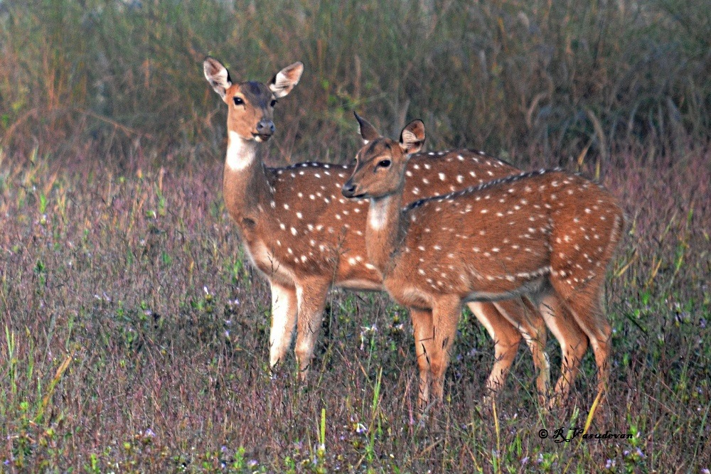 Spotted Deer at Kanha