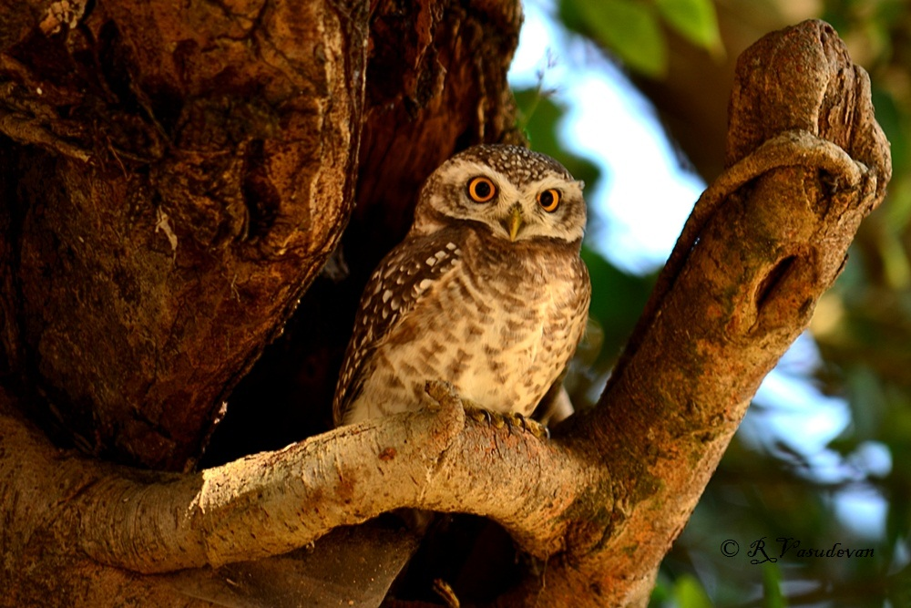 Spotted owlet at Kanha Wildlife Sanctuary