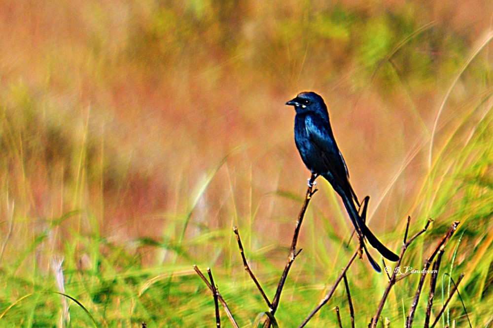 Black Drongo at Kanha Nikon D5100, f/6.3, 1/640, ISO 200, 300mm (35mm equiv 450)