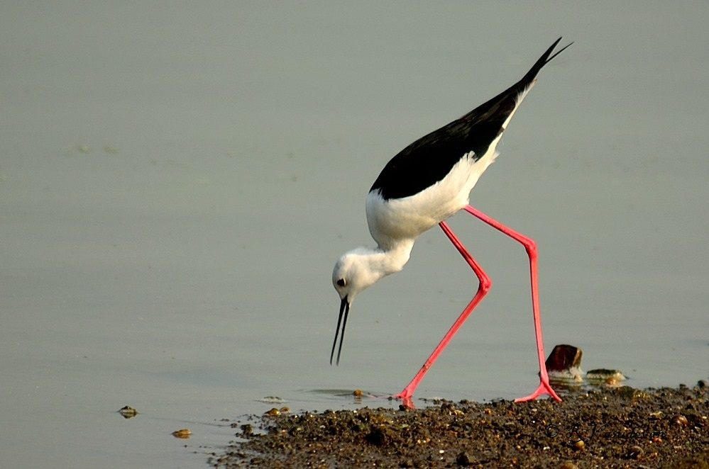 Black Winged Stilt at Bhigwan Bird Park near Baramti, Maharashtra