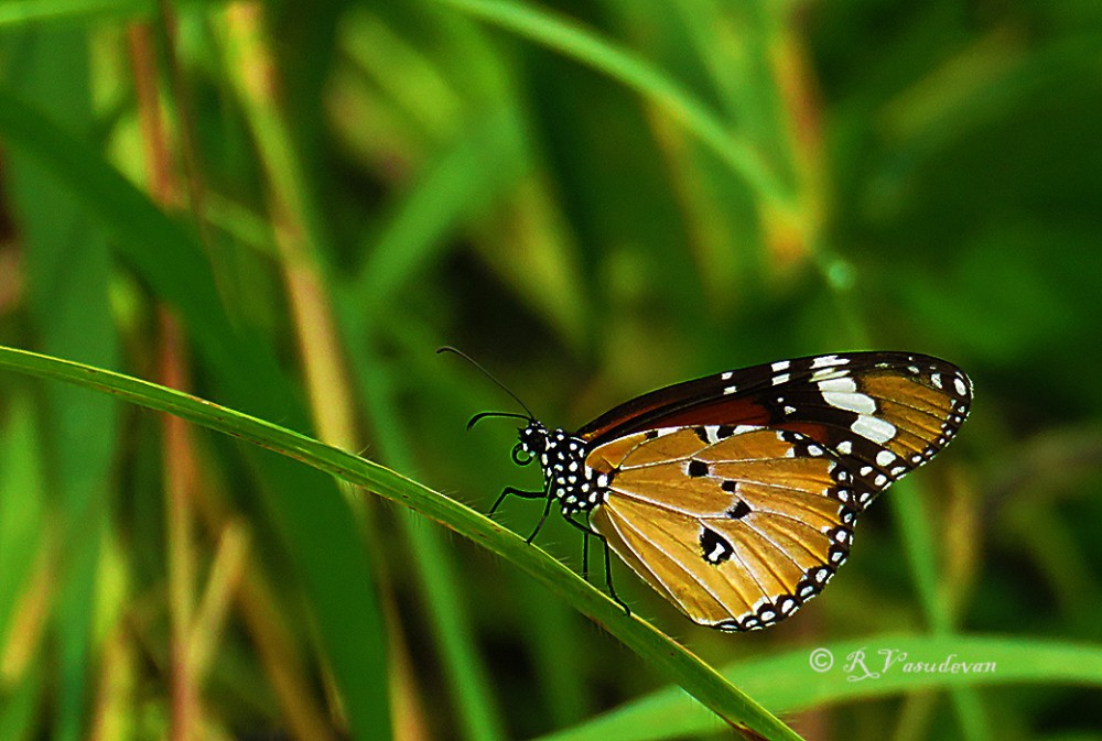 Common Tiger - folded wings  Canon SX60 HS, f/5.6, 1/1000, ISO 400, 85mm