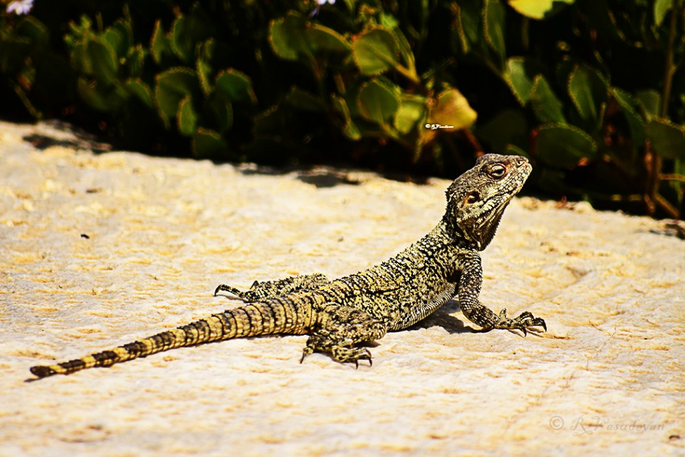 A type of Lizard in the precincts of Caesaria  NIikon D5100, f/5.6, 1/1000, ISO 100 , 300mm (~~35mm equivalent 450)