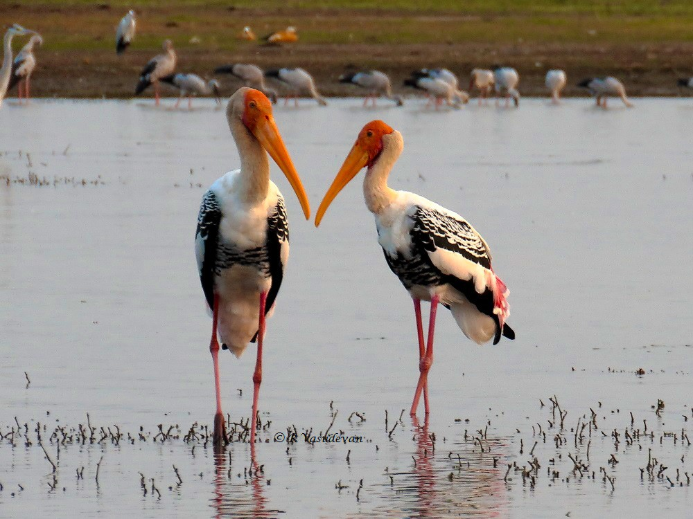 A Pair of Painted Storks chatting !