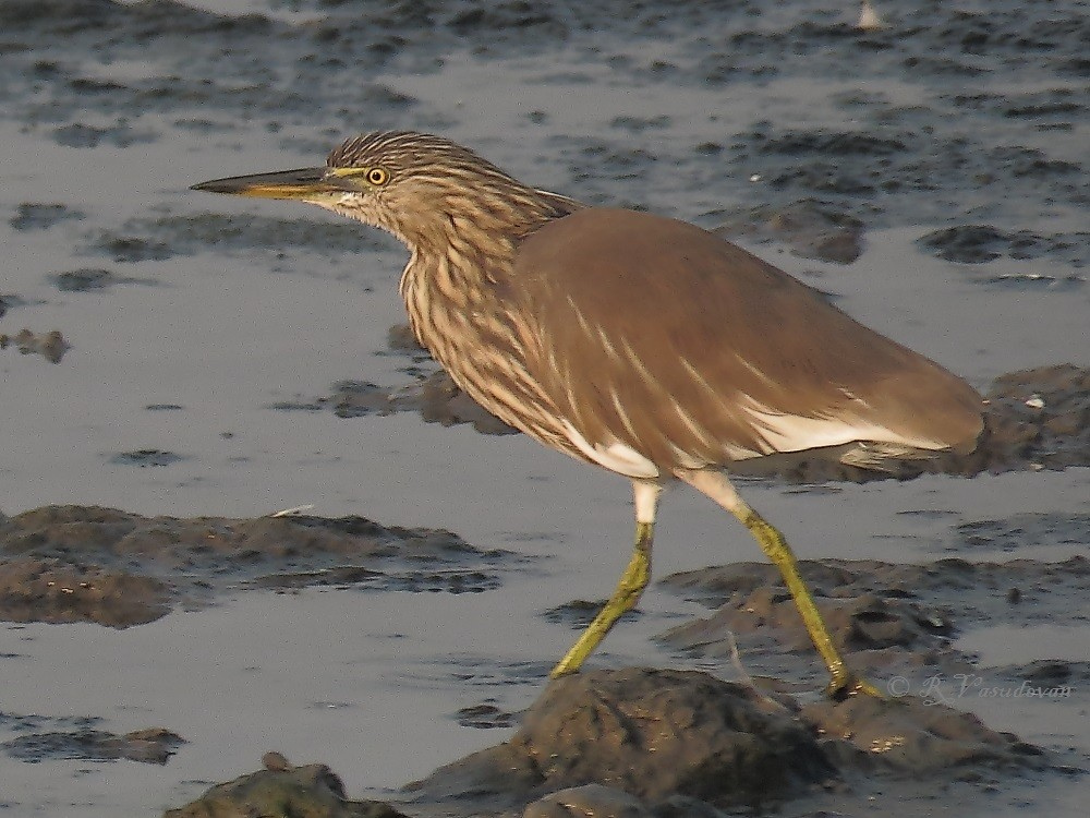 Pond Heron at the lake behind TS Chanakya