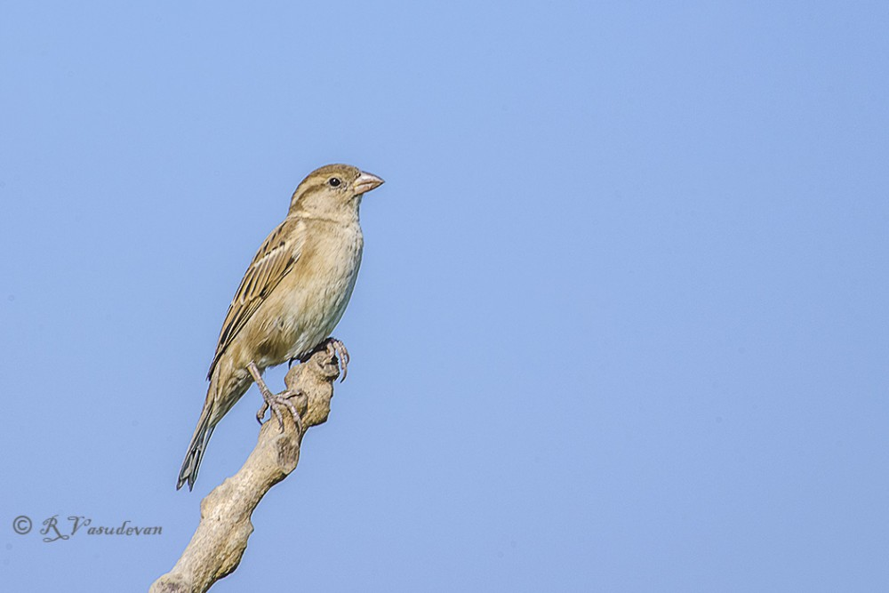 Female House Sparrow D5100,Nikon D5100, f/20, 1/200. ISO 200, at 300mm (35mm fl 450mmm)