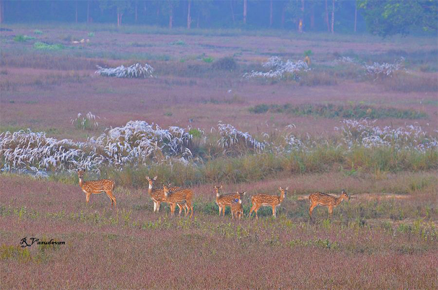 A family of Spotted deers at Kanha Wildlife sanctuary. Nikon D5100, f/5.6, 1/125, ISO 200, 80mm (equiv 120mm)