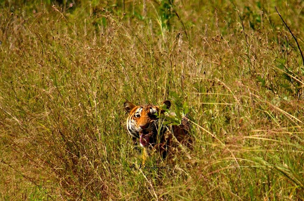 Tiger in its habitat, Kanha